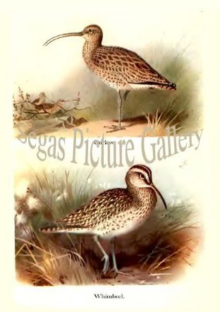 Curlew & Whimbrel